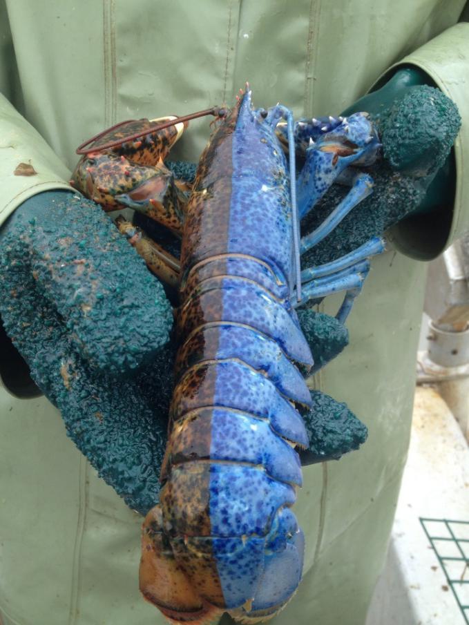 Lobster Mutan 2 warna.