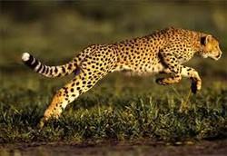 Fakta Unik Cheetah