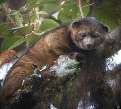 "WASHINGTON - Seekor mamalia spesies baru ditemukan oleh tim peneliti Smithsonian dari Washington. Hewan mamalia yang diberi nama Olinguito memiliki bentuk tubuh seperti racoon dan wajah tak jauh beda dengan beruang. Tim peneliti memperkenalkan spesies mamalia baru ini di kebun binatang Nasional di Washington, Kamis (15/8/2013) kemarin. Olinguito memiliki panjang tubuh 14 inchi, bobot seberat hampir satu kilogram, serta berbulu lebat seperti beruang berwarna coklat kemerahan. Dari bentuk tubuhnya peneliti memperkirakan Olinguito masuk dalam keluarga anjing, kucing dan beruang. Seperti dilansir Huffington Post, Jumat (16/8/2013), peneliti yang menghabiskan satu dekade untuk meneliti Olinguito melaporkan hewan mamalia berbulu ini hidup di pepohonan hutan Ekuador dan Kolumbia, melompat dari satu pohon ke pohon lainnya. Namun diperkirakan mamalia ini juga hidup di hutan-hutan Panama, Kosta Rika, Venezuela, Brasil, Peru, dan Guyana. Seorang peneliti dari Smithsonian, Kristofer Helgen, mengatakan Olinguito berbeda dengan mamalia yang sudah ada sebelumnya dengan sebutan Olingo. ""Olinguito berbeda dengan Olingo. Olinguito lebih kecil, memiliki buntut yang lebih pendek, wajah yang bulat, telinga lebih kecil dan bulu yang lebih gelap. Dia terlihat seperti bola bulu halus, seperti gabungan dari teddy bear dan kucing rumahan,"" Helgen menjelaskan. Sebenarnya pencarian Olinguito bisa lebih mudah dari yang telah dilakukan. Karena salah satu dari hewan berbulu nan menggemaskan ini pernah tinggal di Kebun Binatang Nasional di Washington selama setahun. Pihak kebun binatang keliru menempatkan Olinguito di kandang Olingo."