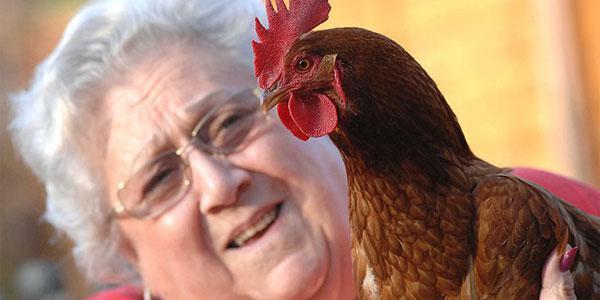Aneh Ayam Betina Berubah Jadi Ayam Jago