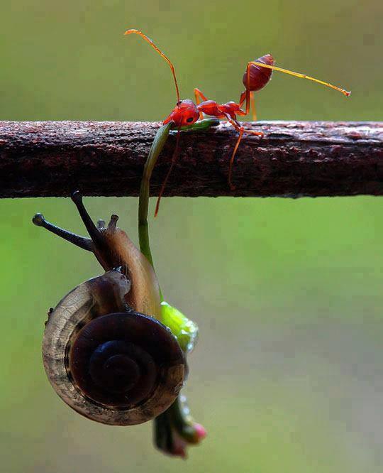 Semut sedang menolong seekor keong agar tidak jatuh...Subhanallah