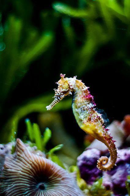 Rainbow Seahorse (kuda laut pelangi)...cantik bgt ya gan :)