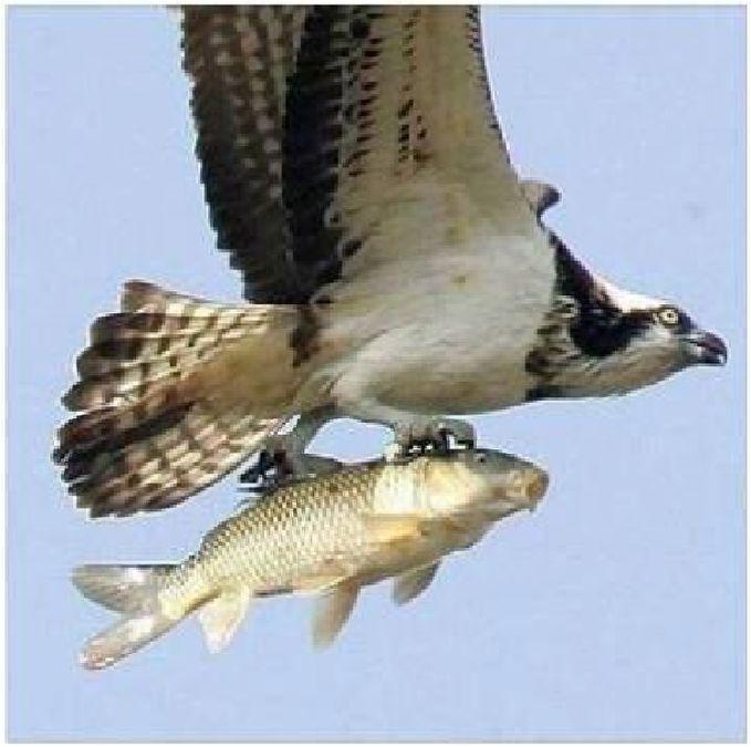 DID YOU KNOW?Ternyata Elang Juga Bisa Berteman Dengan Ikan, setelah melihat ikan yang tenggelam ini, sang elang dengan cepet turun dan mengangkat ikan tersebut LOL WOW nya PLISS^_^ by irfan m n