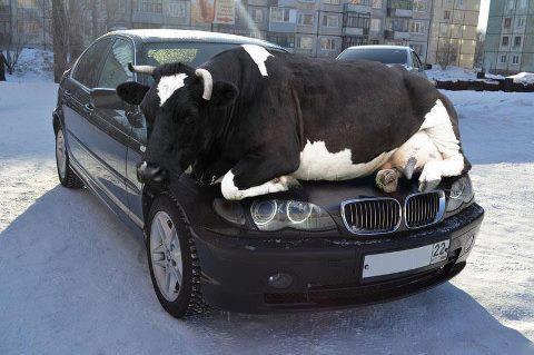 Enak banget ini sapinya, nyantai di congornya mobil :D
