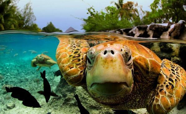 Green Sea Turtle, Bora Bora