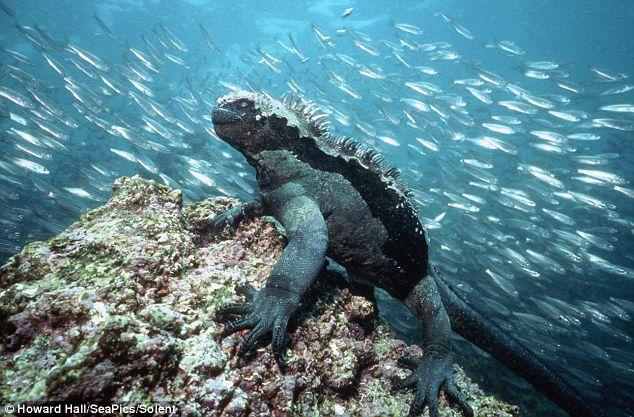"""WOW!sobat ini adalah seekor iguana yang dapat bertahan hidup di dalam air..wahh.. yang bilang ini keren """"WOW-nya"""" dong... :D"""