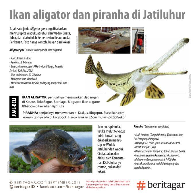 Ikan aligator dan piranha yang berbahaya masuk ke waduk. Weleh!