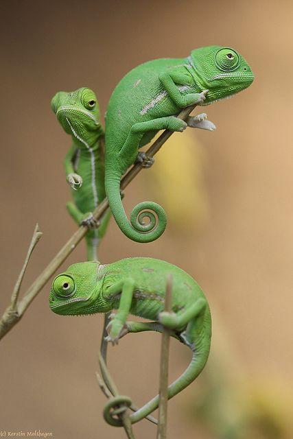 Keluarga Iguana Berwarna Hijau yang Nampaknya Cemberut, Lagi pada mikirin apa sih ? haha :D