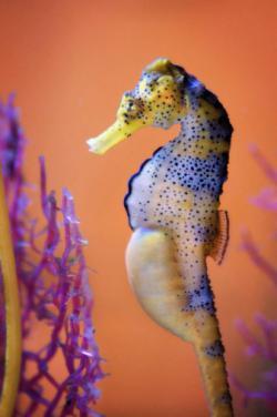 Salah satu species kuda laut yang tubuhnya berwarna warni, keren banget nih !