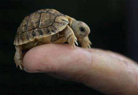 kura-kura terkecil didunia