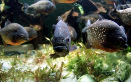 Ikan Piranha Dilaporkan Lepas di Waduk Cirata http://news.negara.co/314.html