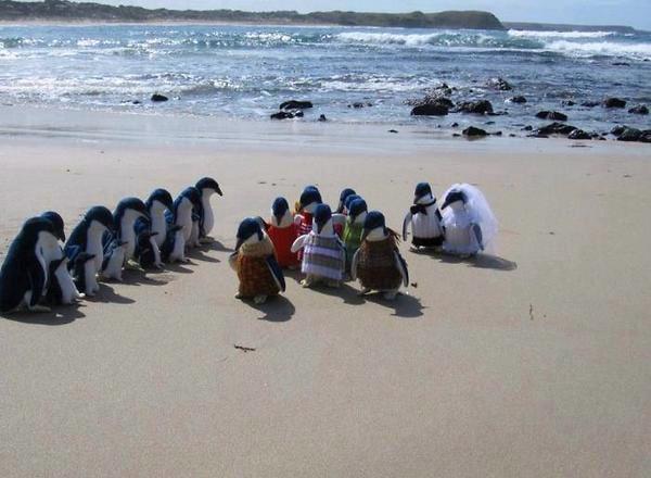Pernikahan Pinguin - Mungkin seperti ini ya proses pernikahan, mempelai pria dan wanita, ada yang mengiringi, ada juga para hadirin yg datang :D hahaha lucu juga.