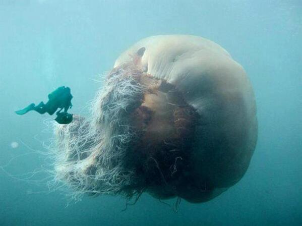 The Arctic Lions Jellyfish Ini adalah spies Ubur-Ubur Terbesar Di Dunia