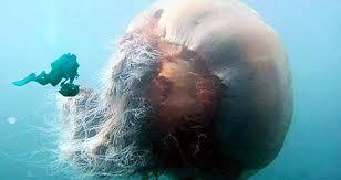 Ubur-ubur terbesar didunia lion mane yg terbesar 2 meter beratnya 220 kg
