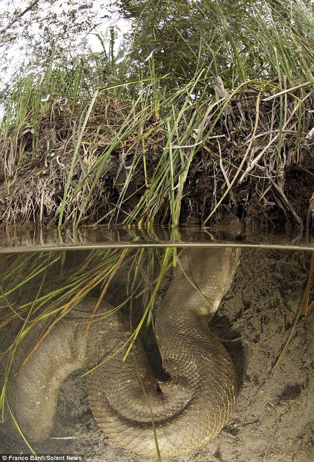Asli bukan sotosop, ini anaconda terbesar yang pernah ditemukan. Panjangnya mencapai 8 meter!!!