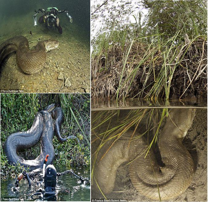 Asli bukan sotosop, ini anaconda terbesar yang pernah ditemukan. Panjangnya mencapai 8 meter!!!!!