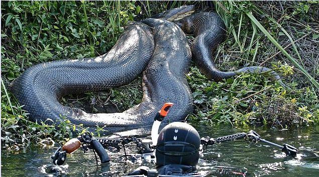 nih gan buat orang awam yg g percaya bahwa anaconda tidak ada asli nih gan no edit