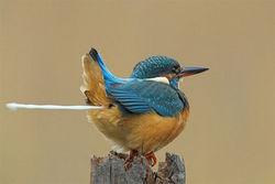 Kombinasi Teknik fotografi dengan shutter speed yang tinggi, dan Moment yang Pas banget, saat burung indah ini sedang buang air :D , tapi menurut PULSKER keren g nih foto ? :)