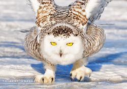 Burung hantu di gurun es... Indah dan luar biasa WOW nya sob untuk ini Follow me ya