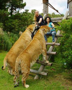 Pasangan ini memelihara sepasang harimau.. Keren yach... FOllow me