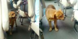 Kasihan, Anjing Ini Naik Turun Bus Mencari Majikan Yang Hilang