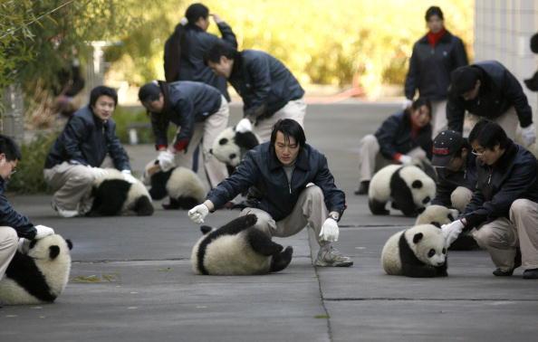 Wow Lucu Banget Ya Bayi Panda Yang Baru Lahir Ini Foto Diambil