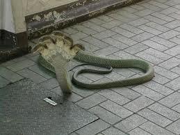 cobra berkepala 5 mirip tangan yachhh :D