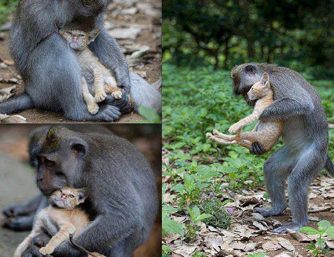 A wild-long tailed macaque monkey has adopted an abandoned kitten at Ubuds Monkey Forest in Bali. According to the photographer: The monkey didnt like it when she tried to take pictures, shielding the kitten from the lens.