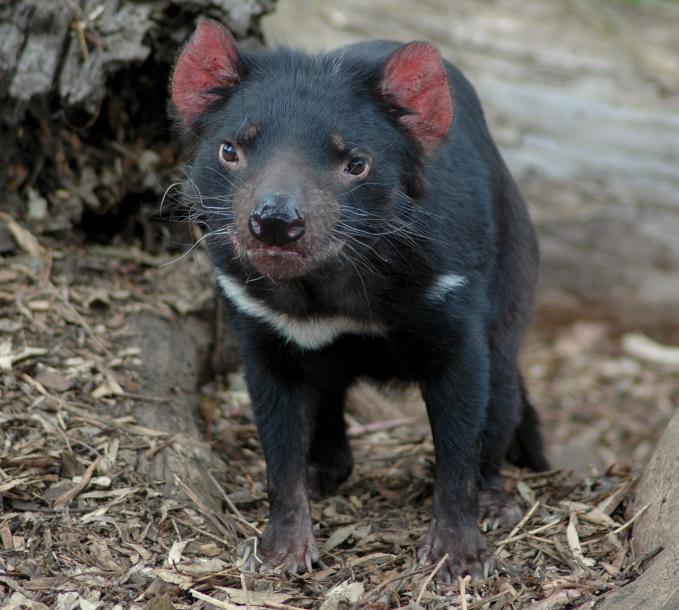 Hewan apakah ini? Clue: 1. Tinggal di Pulau Tasmania, Australia 2. Merupakan binatang marsupial karnivora