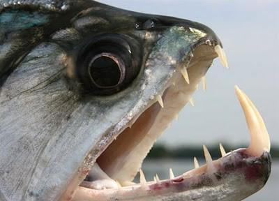Vampire Piranha Piranha Vampir merupakan kerabat dekat dari ikan piranha yang terkenal dari sungai Amazon. Ikan ini dinamakan vampir piranha karena gigi taringnya yang dapat mencapai 6 inci. Ikan piranha yang jarang diketahui ini hidup di sunga