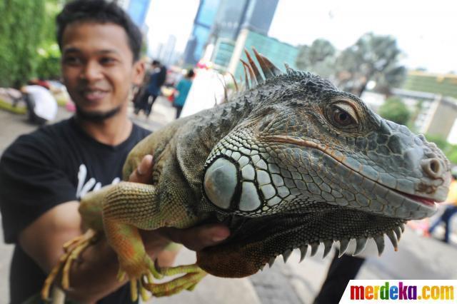 Iguana ,,,