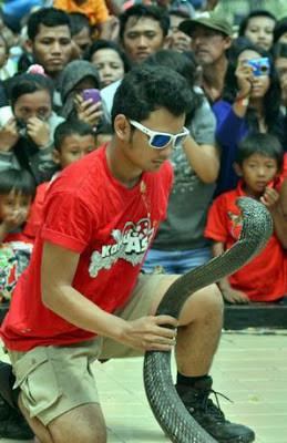 Adu kesaktian Panji Dengan King Cobra Di Surabaya Simak kisahnya di : http://jelajah-nesia2.blogspot.com/2013/10/atraksi-maut-panji-dengan-king-kobra-di.html