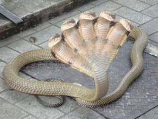 Ular Cobra Berkepala 5 !! Real