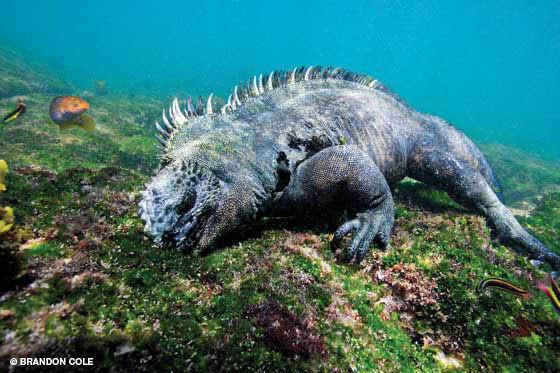 A marine iguana (Amblyrhynchus cristatus) feeds underwater. WOW :o