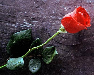 Mawar adalah tanaman semak dari genus Rosa sekaligus nama bunga yang dihasilkan tanaman ini. Mawar liar yang terdiri lebih dari 100 spesies kebanyakan tumbuh di belahan bumi utara yang berudara sejuk. Spesies mawar umumnya merupakan tanaman