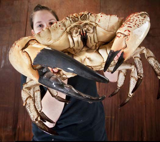 Raja Kepiting Dari Tasmania Claude tertangkap di lepas pantai Tasmania bulan lalu, tapi dijual kepada kelompok Sea Life bersama dengan dua kepiting raksasa Tasmania lainnya. Claude akan dipajang di pusat Sea Life di Weymouth, Dorset,