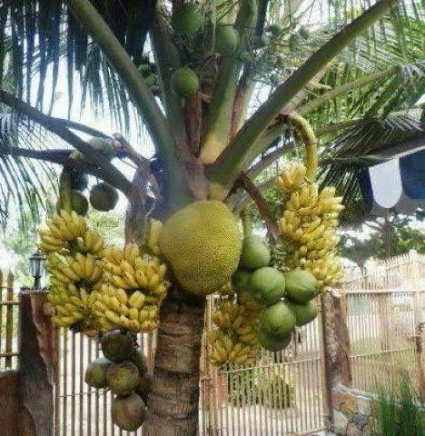 gimana jadinya klo di pohon kelapa tumbuh berbagai buah lainnya? Stresss lo kan.. ?? Lihat juga INFO TERBARU: 1. PENEMUAN TERBARU TENTANG KABAH OLEH PENELITI AMERIKA : http://goo.gl/6i8OTG 2. NIKITA WILLY AKUI PAKAI SILIKON : http://goo.gl/9RTQBE 3. PATUNG YESUS DI GOSOKKAN PENIS OLEH AKTOR POLANDIA : http://goo.gl/gDCLms 4. FOTOGRAFER BUNUH DIRI GARA-GARA FOTO INI : http://goo.gl/8DDnpS