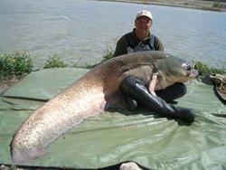 ikan lele terbesar...mantab..