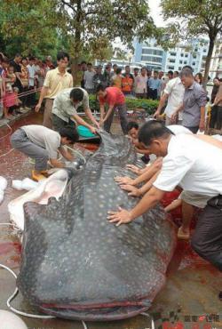 Ikan Lele Raksasa Terbesar Di dunia ditemukan di gorong-gorong. Kabar mengejutkan ten