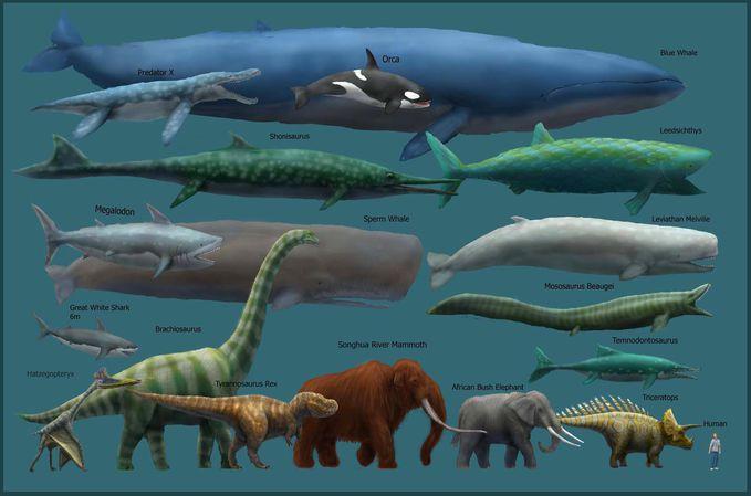 Paus Biru Blue Whale Adalah Ikan Terbesar Saat Ini