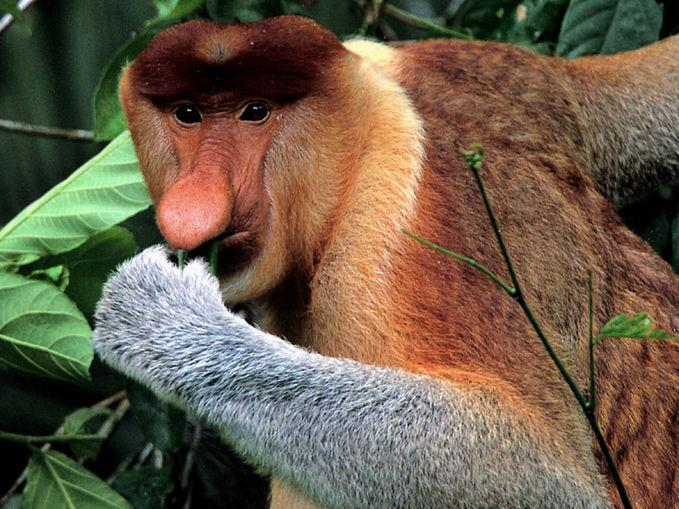 Bekantan adalah hewan asli hutan kalimantan dimana hewan jantannya memiliki hidung yang akan terus membesar dan memanjang hingga 3 inchi, semakin panjang hidung yang ia miliki maka akan semakin membuat sang jantan terlihat menarik dihadapan sang betina. Bekantan dikenal juga sebagai monyet belanda karena hidungnya yang mancung tersebut, hidungnya juga berfungsi sebagai amplify suara ketika bahaya mendekat atau ketika sang jantan menjadi agresif. Sistem sosial bekantan adalah hanya ada satu jantan dalam sebuah kelompok bekantan, dimana ukuran tubuh bekantan jantan lebih besar daripada yang betina. Bekantan menjadi maskot fauna provinsi Kalimantan Selatan dan terdaftar sebagai hewan yang terancam punah.