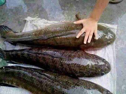 Cuba teka, apa nama ikan ni?? besar gle beb...!