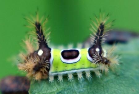 Ulat bulu unik dengan badan berwarna hijau terang.