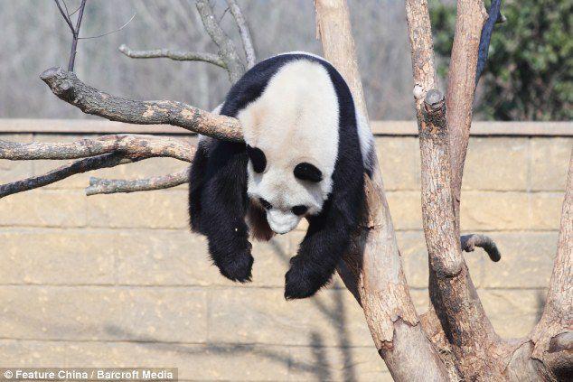 ini panda tidur apa panda nyangkut? :D