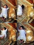 GILEEEEE !!! Tubuh kucing ini sama besarnya dengan bayi yang bertubuh gemukk.. biLang WOW untuk gambar ini yaa :O