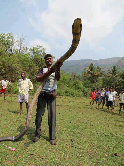 Sobat Pulsk, menurut anda si pawang ular king kobra ini nekad ya, bisa terlihat dengan santainya ia mengendalikan sang kobra.
