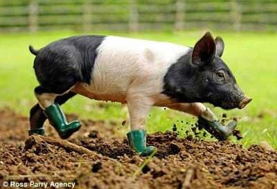 Sobat Pulsk, kita harus malu kalau kita ketempat kotor tidak pakai alas kaki, coba lihat si Babi ini saja pakai sepatu boot !