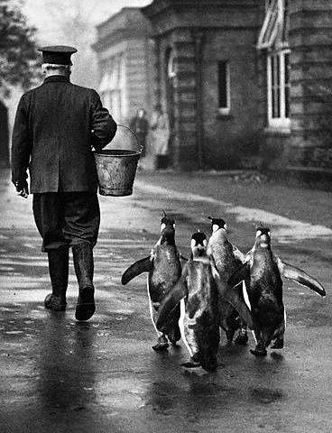 Sobat Pulsk, lucu ya tingkah para burung Pinguin ini, yang mengikuti tuannya, siapa tahu diberi ikan gratis.