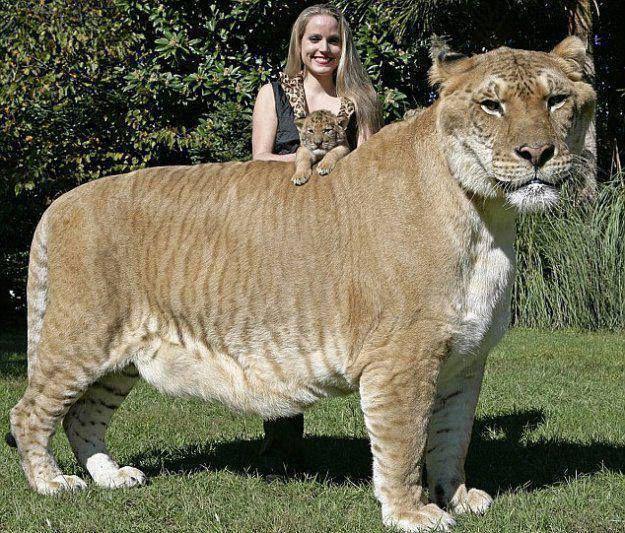 Liger adalah hewan persilangan antara singa jantan dan harimau betina. #FaktaUnik Klik SUKA / LIKE Hangout Society. Disini : https://www.facebook.com/hangoutsociety ATAU http://m.facebook.com/hangoutsociety