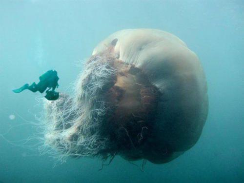 Sobat Pulsk, keren ya peristiwa penyelam dengan ikan Lions Mane Jellyfish. Ini adalah ikan Jellyfish terbesar di dunia.